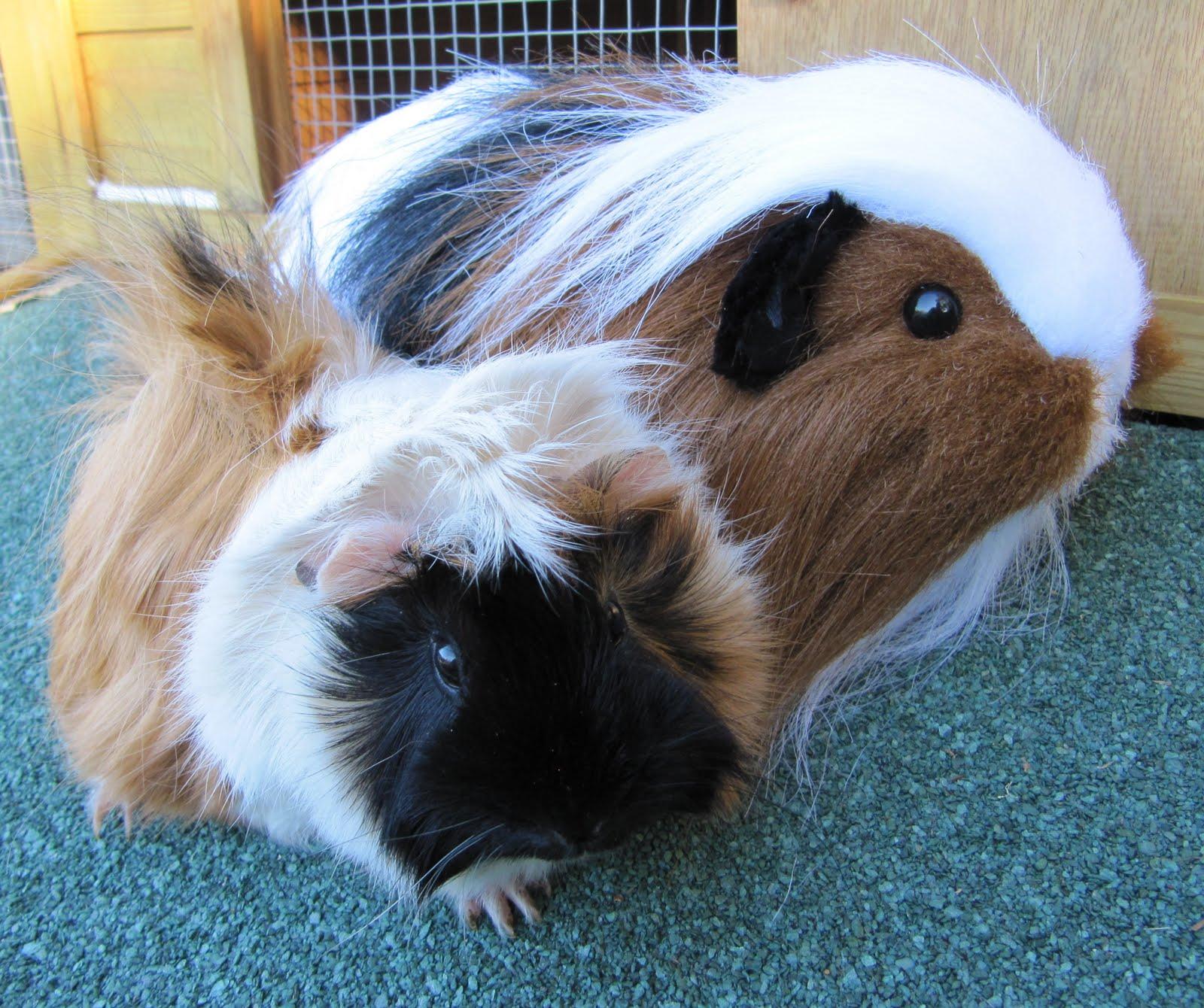 All Things Guinea Pig: Plush Piggies