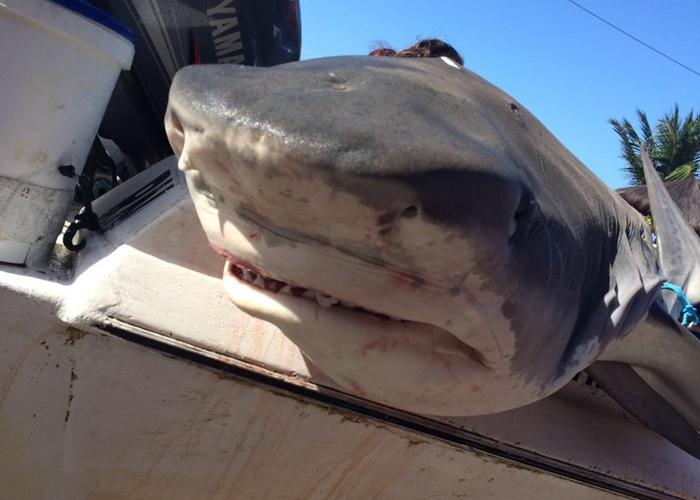 Tubarão é capturado no litoral de Macau.