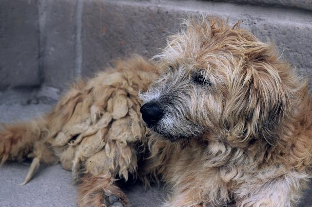Asian dog breeds, Asian breeds