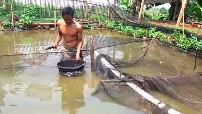 Budidaya Ikan Patin di Pekarangan