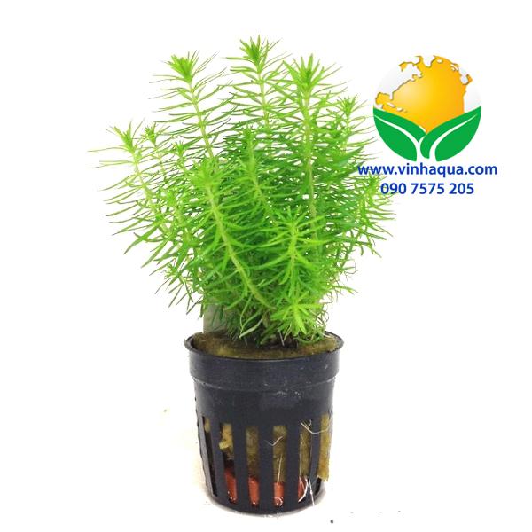 Phụ kiện thủy sinh - cây liễu bông trồng hậu cảnh