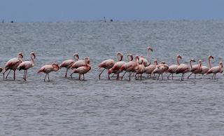 Πάνω από 300 ροζ φλαμίνγκο έφτασαν στην Κέρκυρα και πρόσφεραν μαγεία - BINTEO