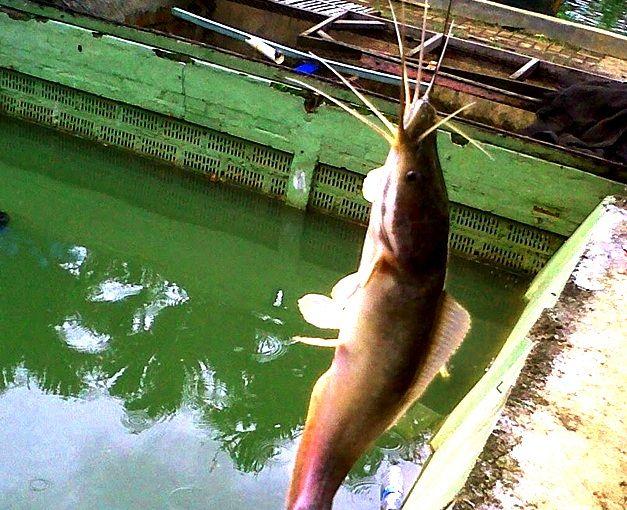 Gambar umpan ikan lele terbaik Siang hari