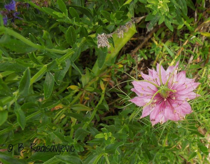 Nigella - A Wonderful Garden Surprise