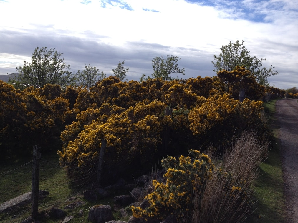 Gorse flowering abundantly in the Highlands