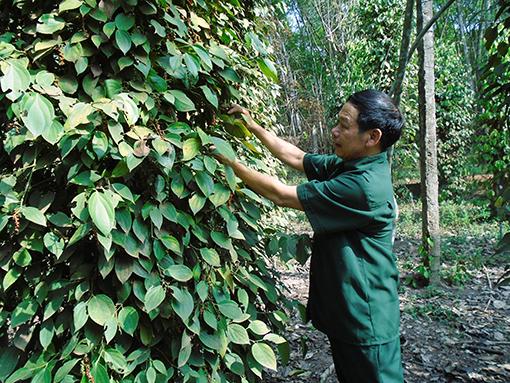 Phú Giáo: Cựu chiến binh vươn lên từ phong trào giúp nhau làm kinh tế