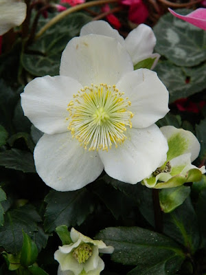 2018 Allan Gardens Conservatory Winter Flower Show white hellebore flower closeup by garden muses--not another Toronto gardening blog