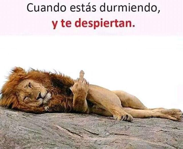 cuando te despiertan, león con dedo arriba