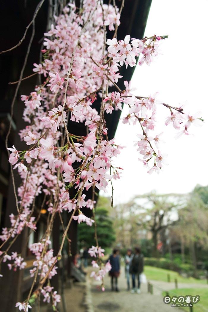 focus fleurs de sakura