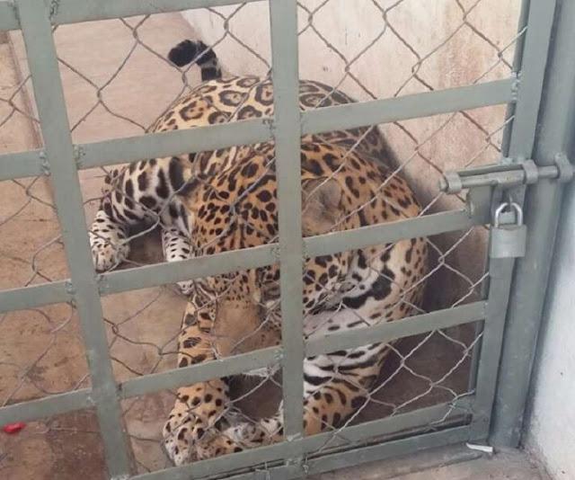 Fotografías: Detiene Ejército a siete personas y asegura armas, autos de lujo y un jaguar Sinaloa