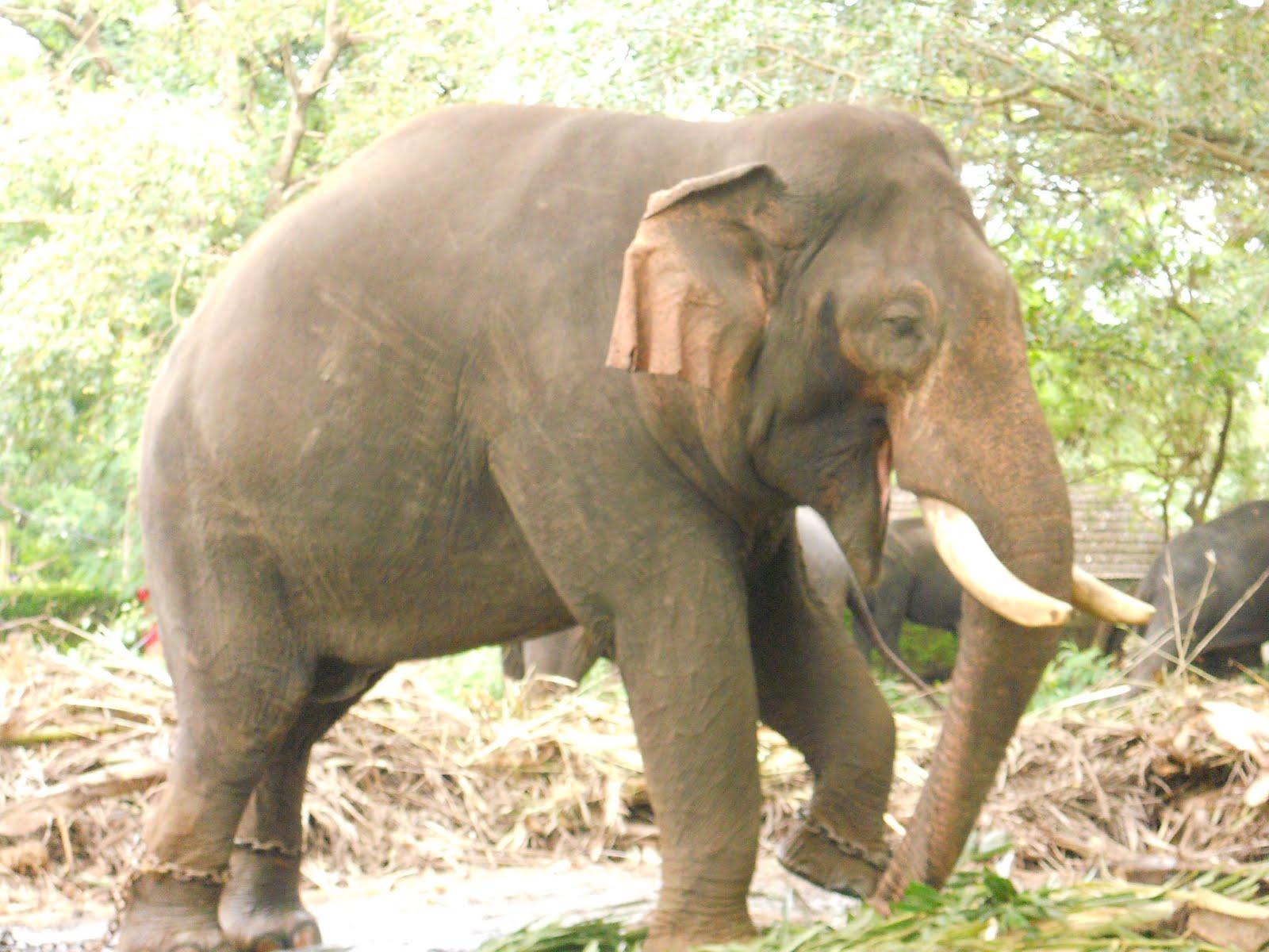 Kerala Elephant Wallpaper