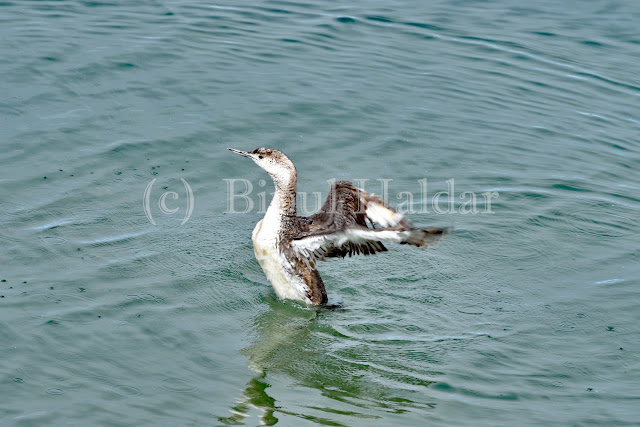 Common Loon Flapping Wings