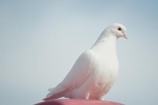 Une colombe, symbole de l'Esprit Saint