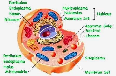 Sel tiba dalam banyak sekali bentuk dan ukuran Organel Sel Hewan beserta Fungsinya