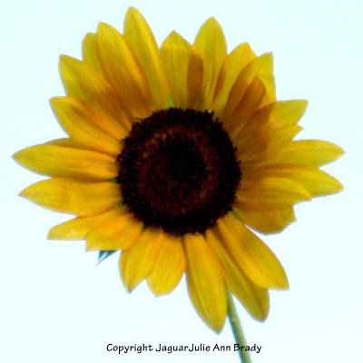 An Artsy Solitary Yellow Sunflower Blossom