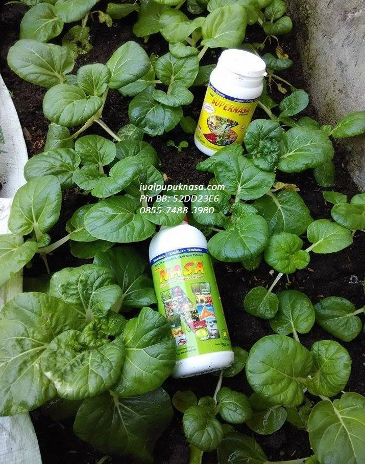 Teknik Budidaya Sayuran : teknik, budidaya, sayuran, Teknik, Budidaya, Sayur, Organik