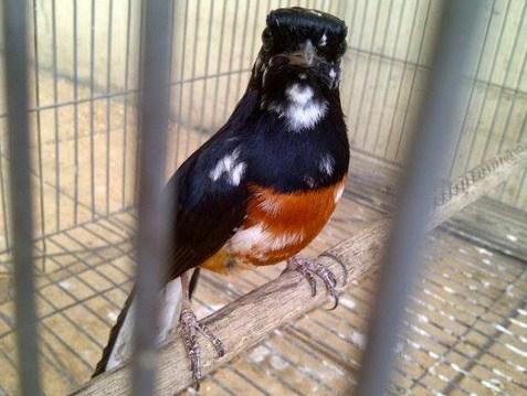 Mengetahui Penyebab Warna Bulu Blorok Burung Murai Batu Paling Lengkap Kicau Mania