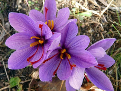 The Benefits of Saffron Flowers Plants