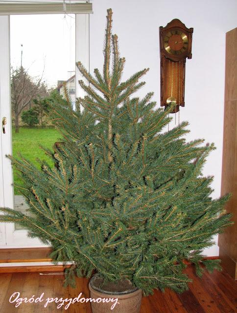 świeża choinka, zielone drzewko, ogród przydomowy