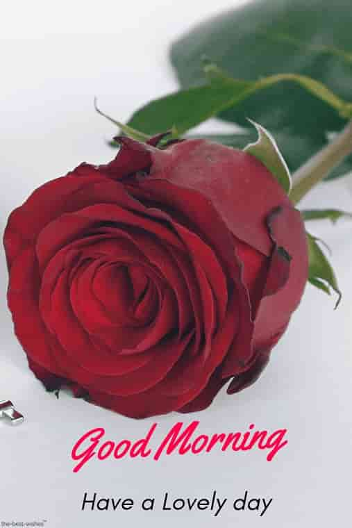 best good morning images hd have a lovely day with red rose
