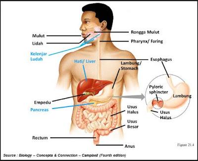Fungsi Alat-Alat Pencernaan Seperti Mulut, Kerongkongan, Lambung, Usus Halus, Usus Besar, Rektum, dan Anus Dalam Sistem Pencernaan Manusia