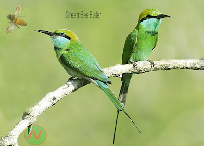 green bee eater bird, বাঁশপাতি
