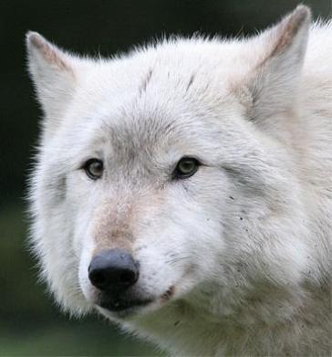 Wite Wolf