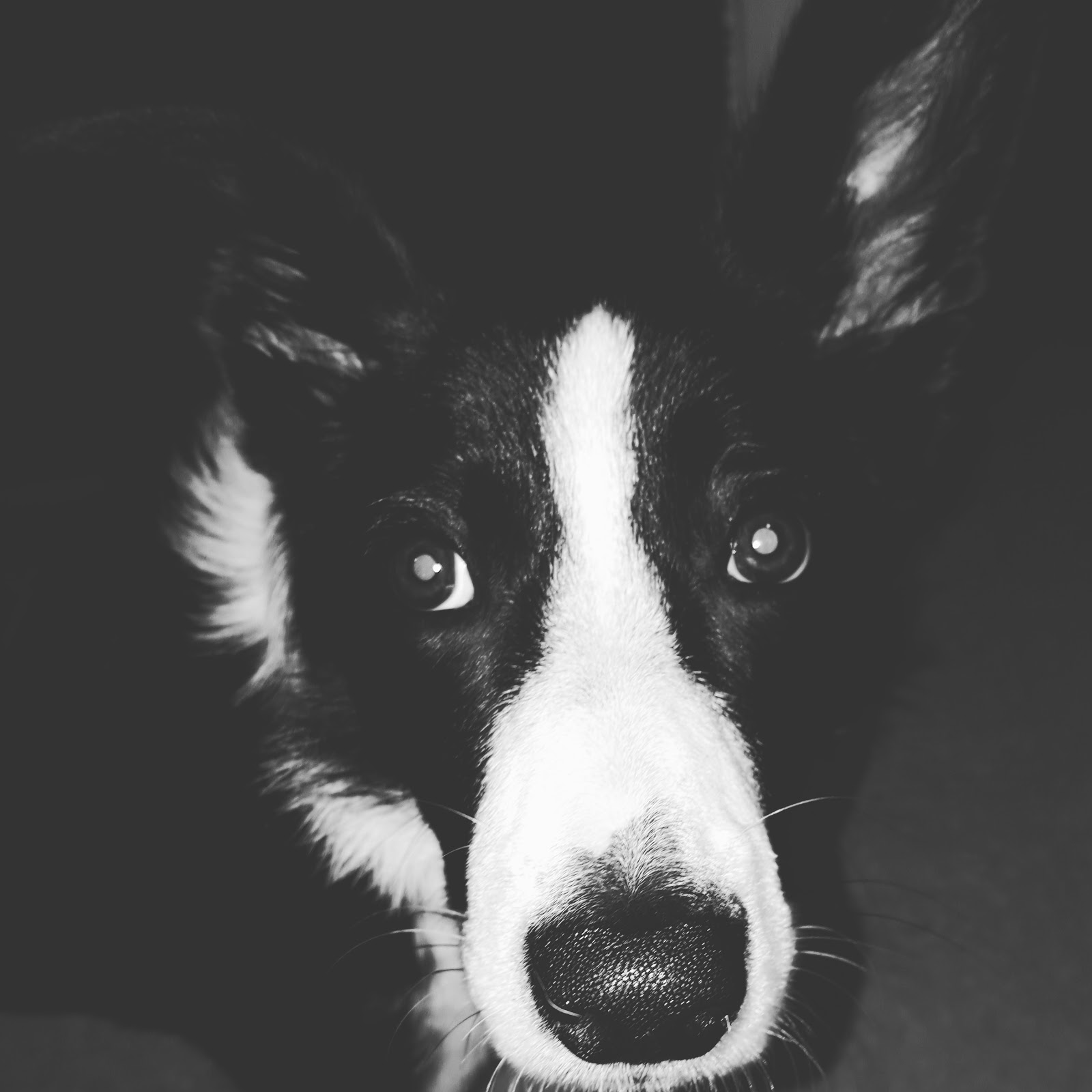Mollie The Collie Selfie