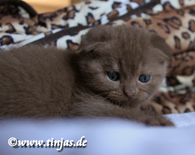 Katzenbaby scottish Fold cinnamon