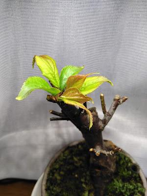 野梅の新芽