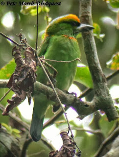 Flame fronted Barbet