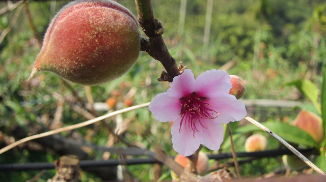 Peaches   Benefits For Better Life