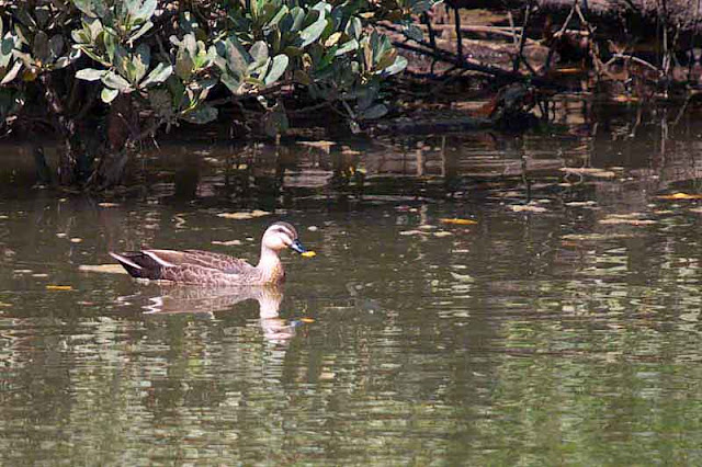 birds, Chinese Spot-billed Duck, Anas zonorhyncha, Okinawa
