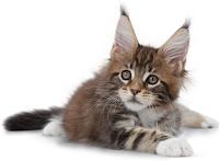 Royal Canin Cat. Makan Mewah Untuk Si Kucing