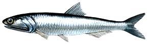 Foto de una anchoveta de perfil