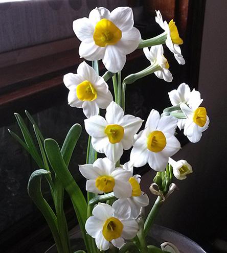 hoa thủy tiên đẹp nhất thế giới 3