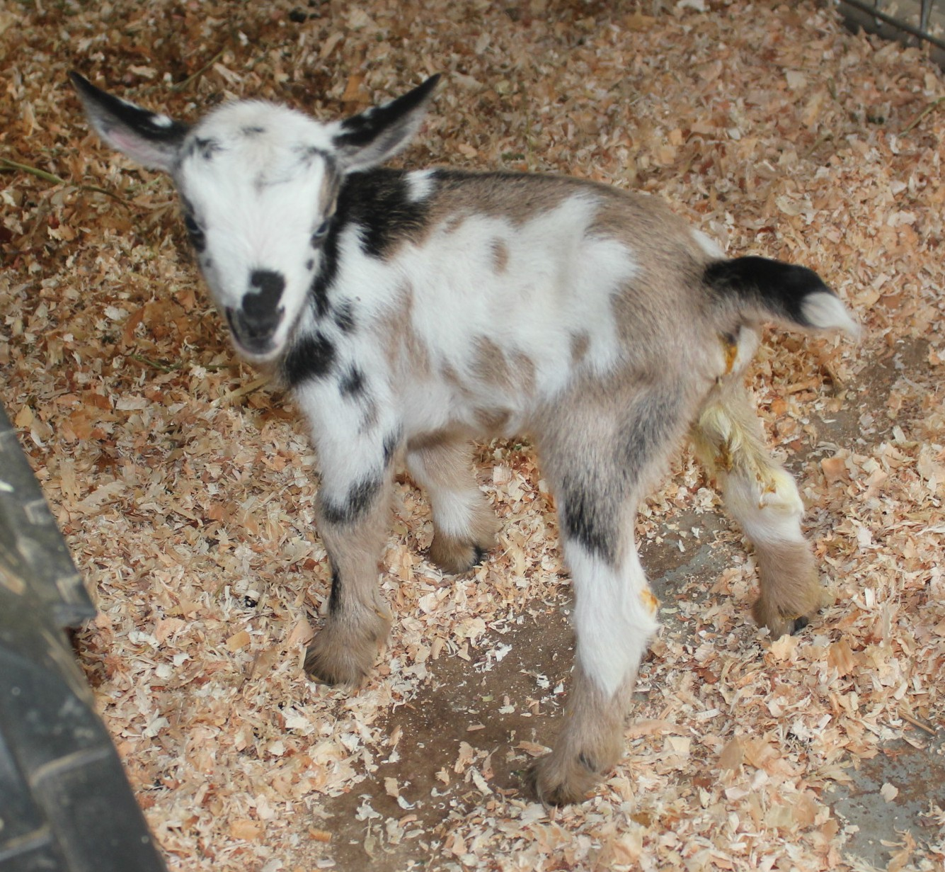 Amber Waves Pygmy Goats: Gorgeous Nigerian Wether Hand