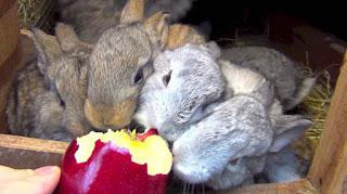 kelinci mengunyah makanan
