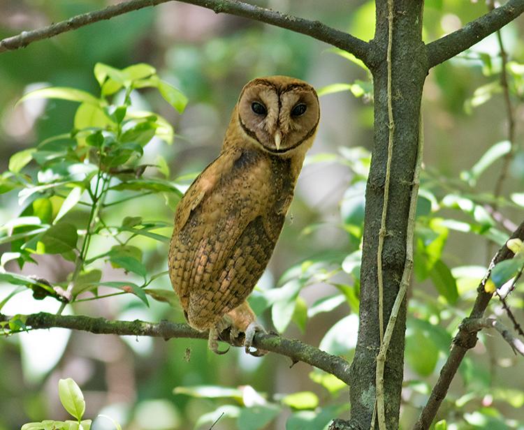Christian Artuso Birds Wildlife Owls of Sulawesi and