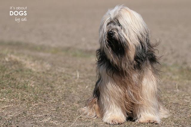 Frisch gebadet sah Tibet Terrier Chiru nach dem Ausflug nicht mehr aus!