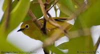 Foto dan gambar Burung Pleci Kacamata Jawa, Zosterops flavus