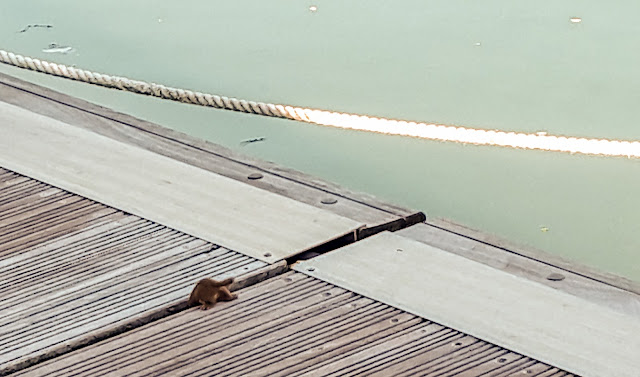 Photo of the weasel disappearing down a gap in the pontoons