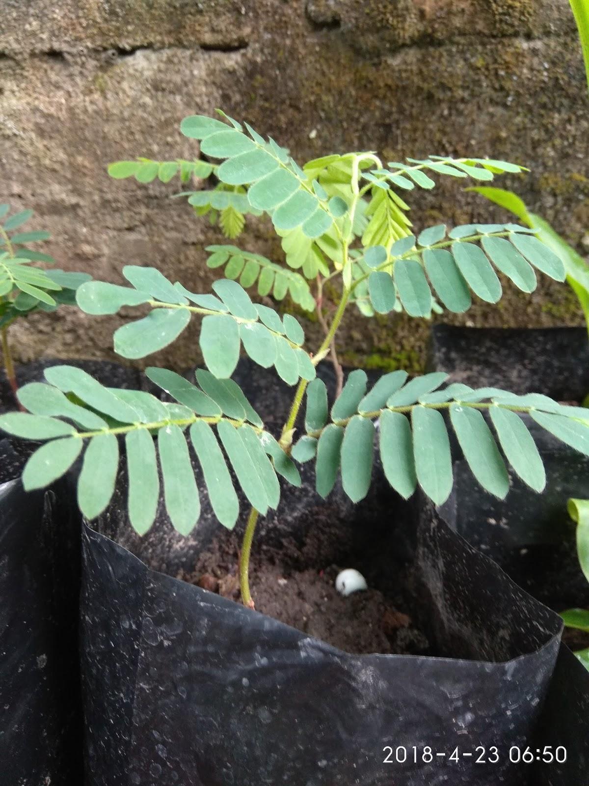 Bibit pohon asam jawa