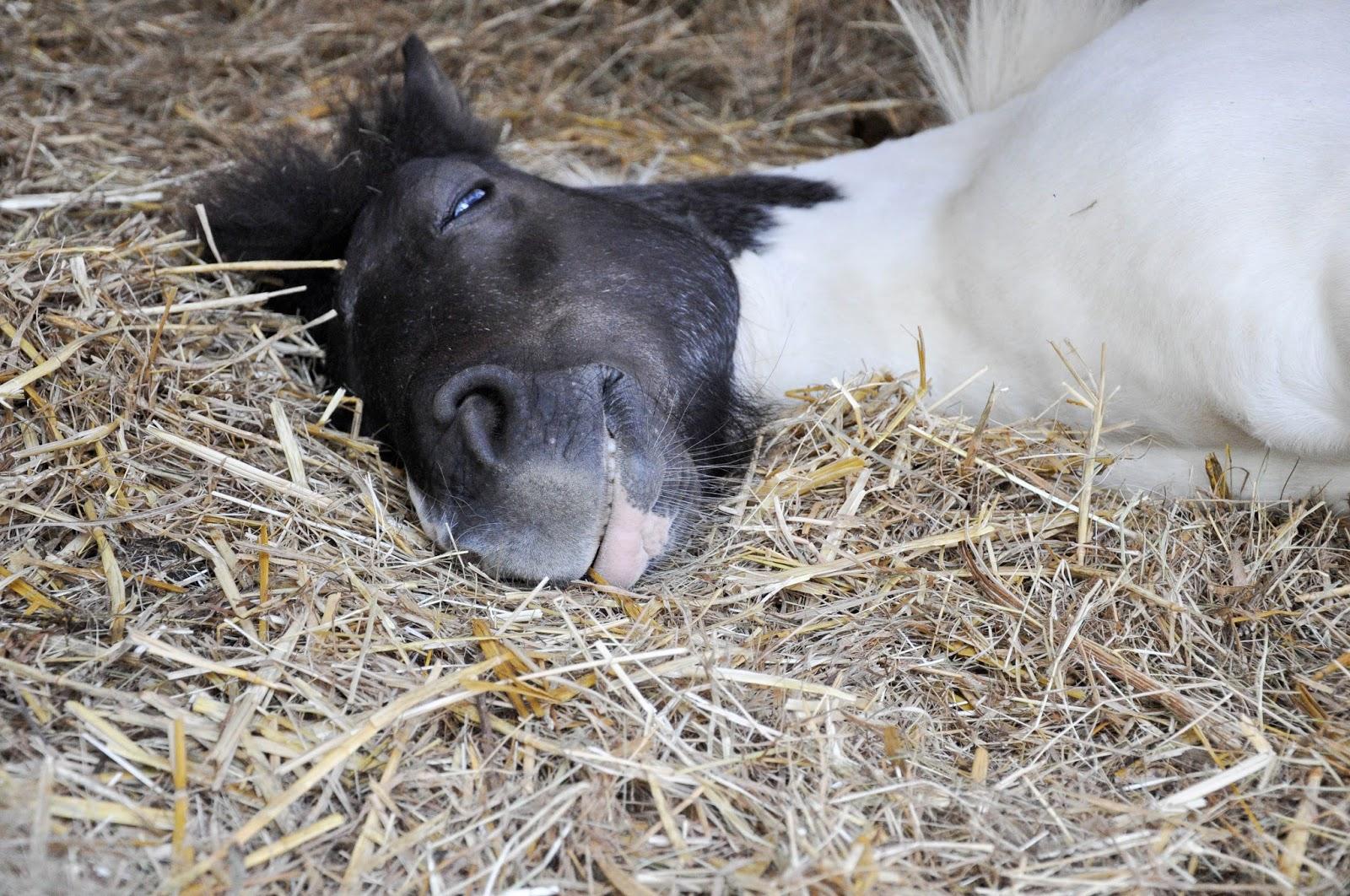 Tinker the Shetland Pony, The Garlic Farm, Isle of Wight, UK