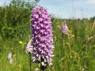 lilac spotted orchid growing in green field Leitrim