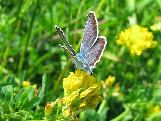 Modraszka idas (Plebejus idas)