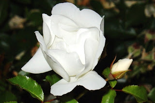 white rose buds - http://photography-passions.blogspot.com