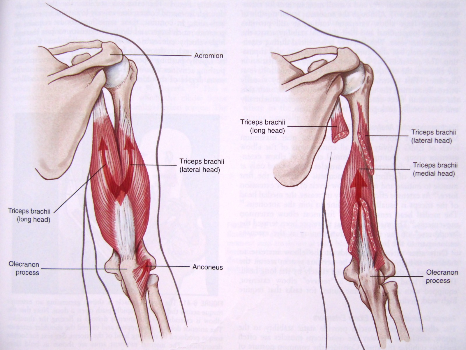 Understand The Triceps