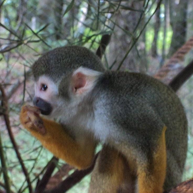 Mico de Cheiro Comendo, no Gramado Zoo