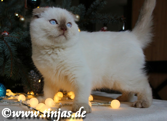 Scottish fold Cinnamon point Zucht
